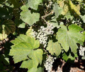 la vigne de Rambouillet